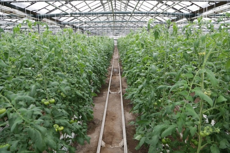 В Карагандинской области собран крупнейший урожай картофеля, фото-3